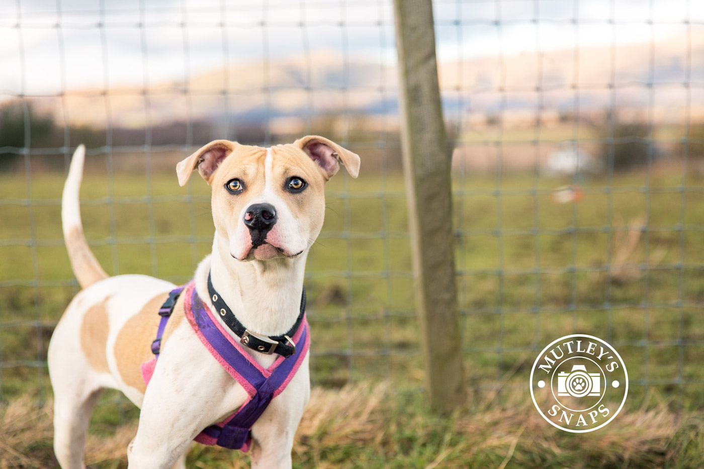 Gracie from Save A Staffie Scotland by Mutley's Snaps Pet Photography in Falkirk