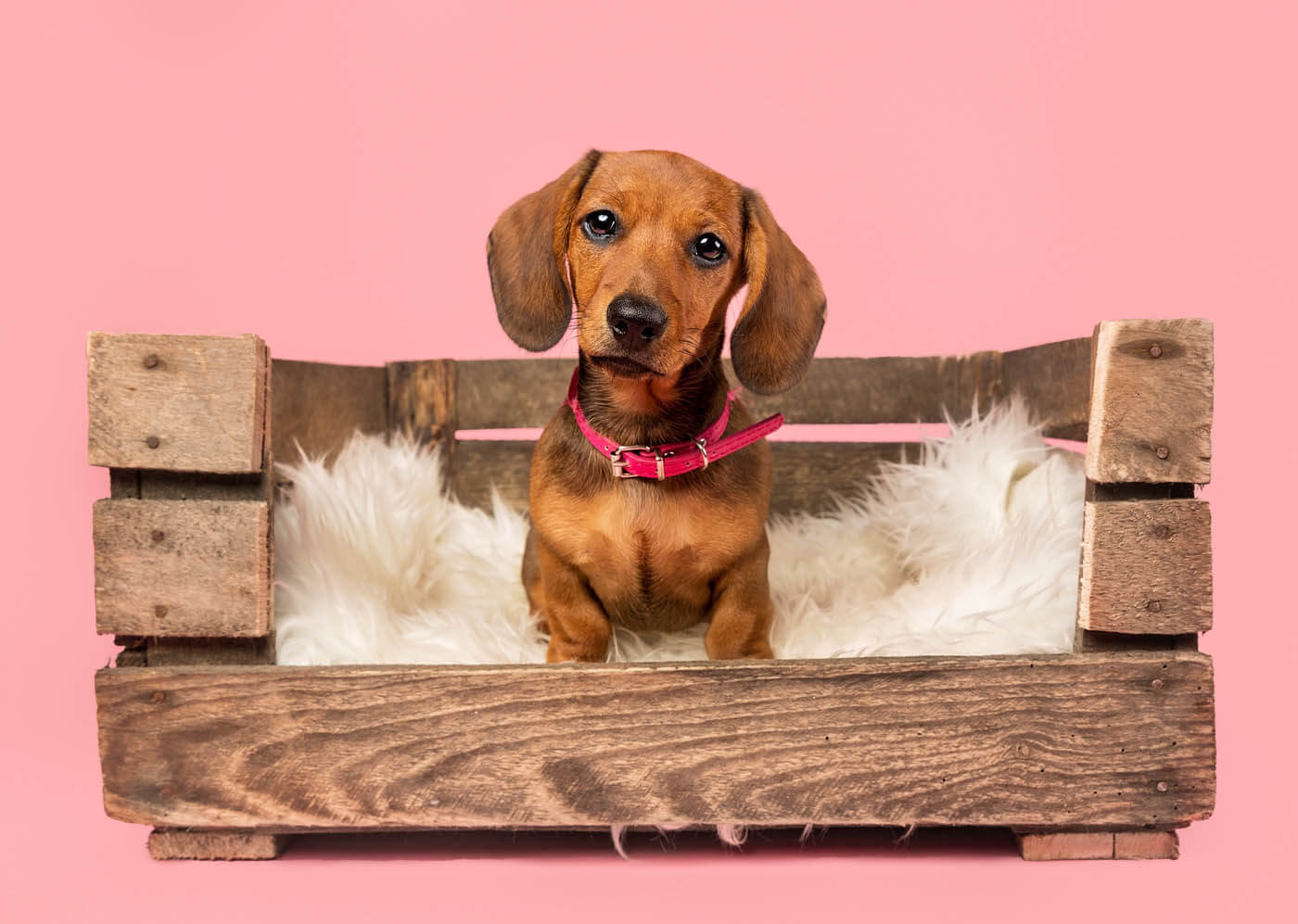 Studio-Pet-Photography-Falkirk-11