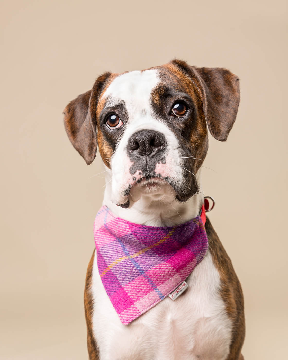 Studio-Pet-Photography-Falkirk-8