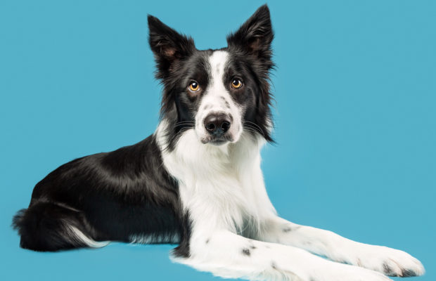 Ollie the Boarder Collie rocked his Studio Shoot