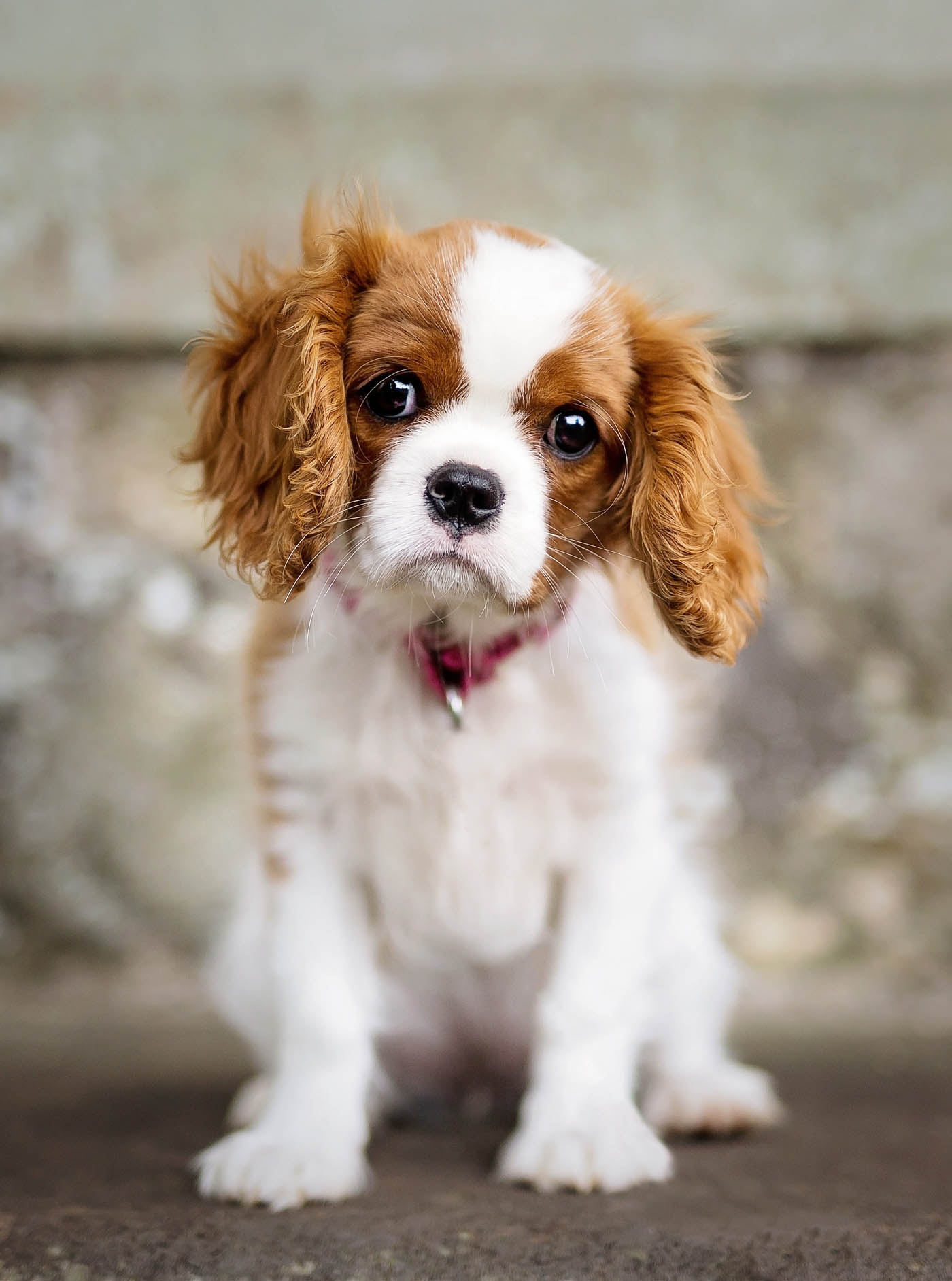 Cara The Cavalier King Charles Spaniel At Pollok House Glasgow