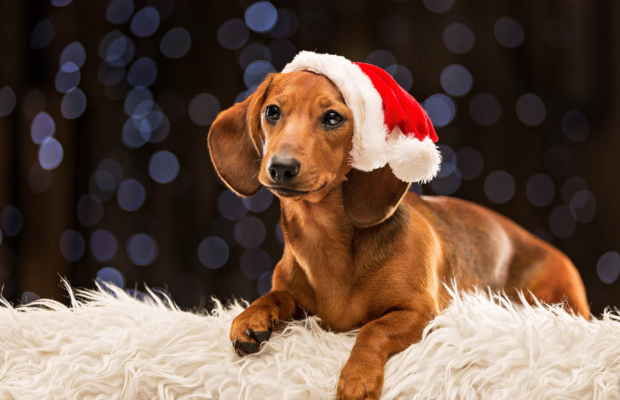 Festive Flo – Dog Photographer Falkirk