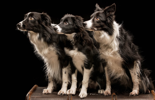 Border Collies Portraits – Glasgow Dog Photography Studio