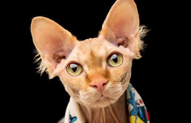 Puddin the Sphynx Cat – Pet Photography in Central Scotland