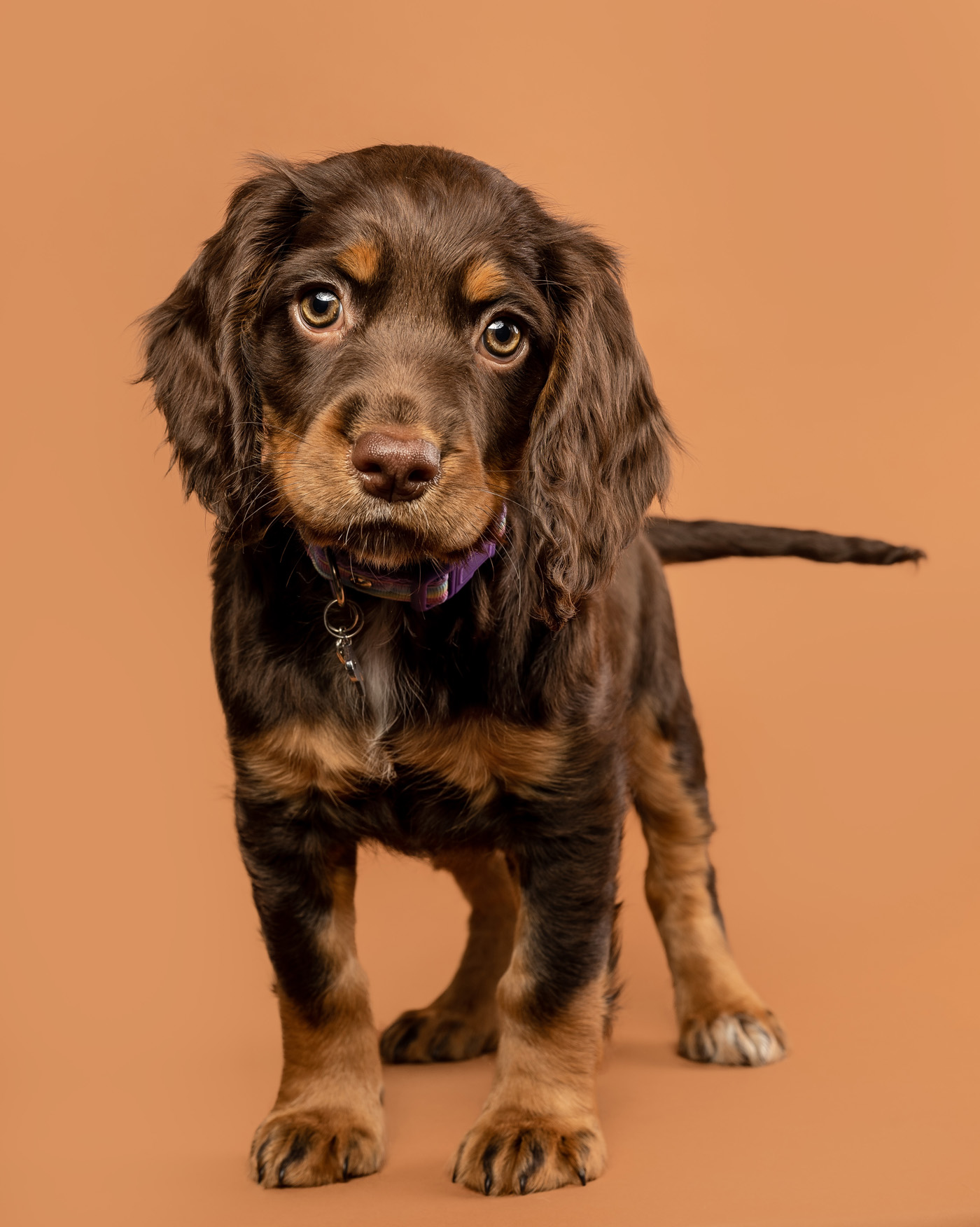 Rumble Cocker Spaniel Puppy Photography Session Scottish Dog Photography