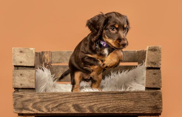 Rumble – Working Cocker Spaniel Puppy Shoot – Scottish Dog Photography