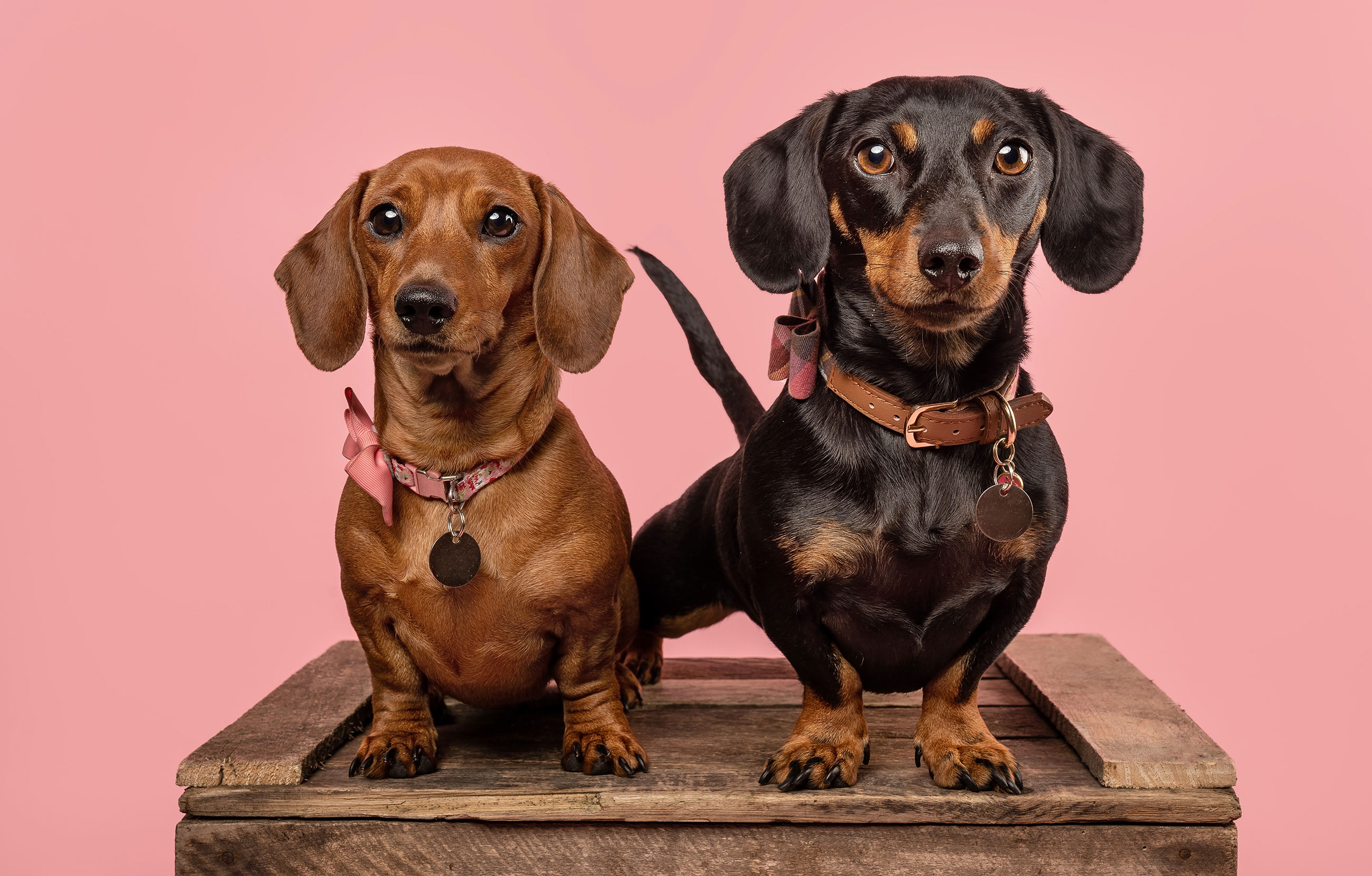 Contemporary Pet Photography in Falkirk, Scotland | Photo shows two dachshunds in Studio