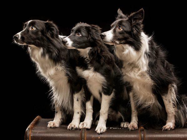 Border-Collies-Agility-Dogs-Photographer-Glasgow-21