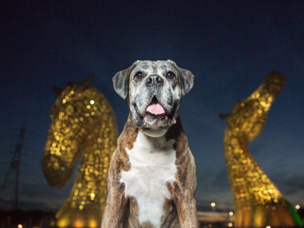 Boxer-dog-at-the-kelpies-falkirk-dog-photography_0009