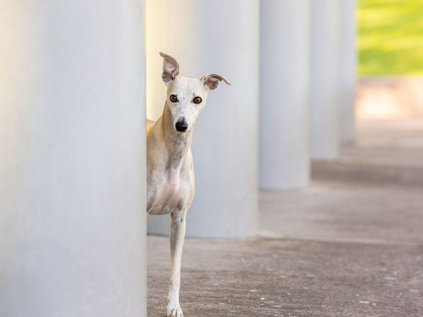 Brooke-whippet-Baxters-park-dundee-dog-photography-16