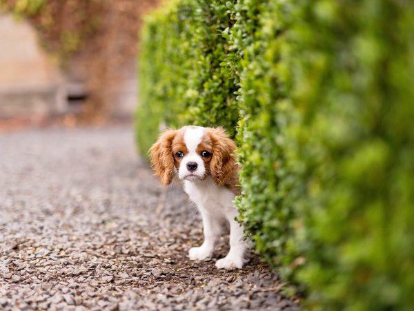Cavalier-King-Charles-Spaniel-puppy-Pollok-House-glasgow-15