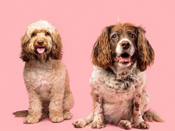 Coco-the-cocker-spaniel-and-bella-the-cockapoo-scottish-dog-photograher-21