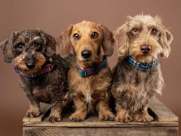 Dachshunds in sscotland - dog photography (7)