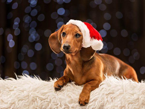 Festive-Flo-Dachsund-Dog-photography-scotland-2