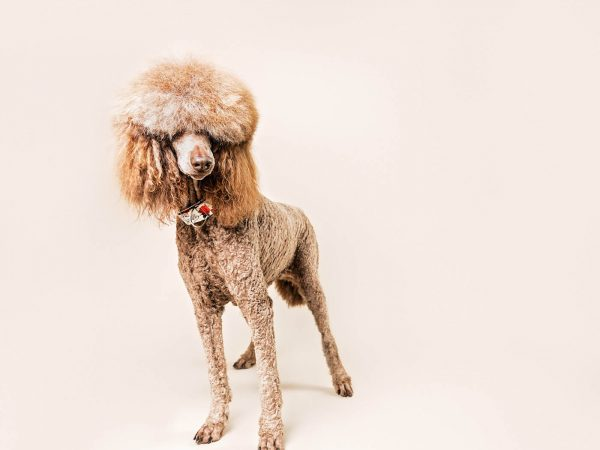 Molly-standard-poodle-falkirk-glasgow-pet-dog-photographer-5