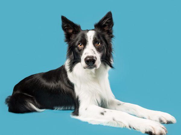 Ollie-Border-Collie-Dog-Photographer-Falkirk-Scotland-studio-mutleys-snaps-10