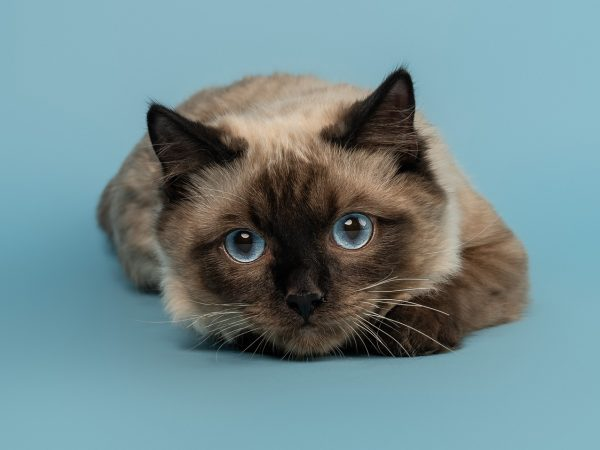 Ollie- Ragdoll Kitten - Scottish Cat Photographer (33)