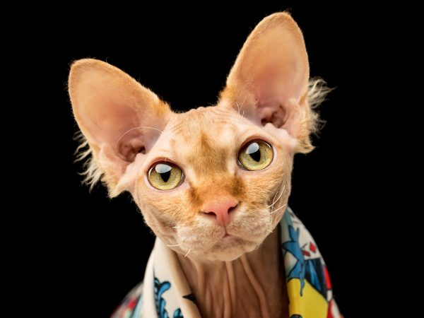 Puddin-sphynx-cat-pet-photography-scotland-3