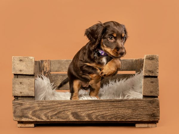 Rumble-working-cocker-spaniel-dog-photography-Glasgow-Scotland-5